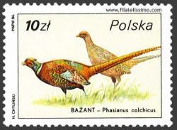 Faisán vulgar (Phasianus colchicus)