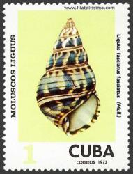 Liguus fasciatus fasciatus