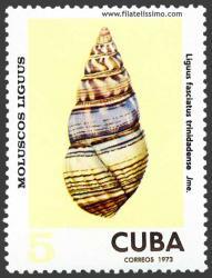 Liguus fasciatus trinidadense